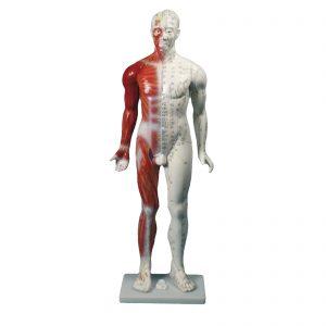 Este modelo humano mostra, de um lado, os meridianos e pontos de acupunctura e no outro a representação dos músculos e nervos superficiais. Exposto sobre uma base rectangular.