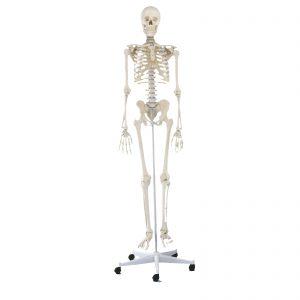 Modelo anatómico de esqueleto completo, ideal para estudantes de anatomia. Todos os detalhes são fielmente reproduzidos. Apresenta fissuras, foramens processos ósseos. O crânio é desmontável em três partes sendo também possível remover braços e pernas. As articulações dos ombros, joelhos, ancas e tornozelos são deslizantes. As pernas são desmontáveis nos joelhos e os pés são removíveis. As omoplatas são igualmente móveis. Dispo~em de um suporte de 5 apoios com rodas.