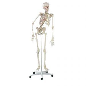 Modelo anatómico de esqueleto completo topo de gama com coluna flexível, com estruturas cápsulo-ligamentares e marcações das origens e inserções musculares. Modelo natural de um esqueleto humano, com representações de todos os detalhes anatómicos, fissuras, foramens e processos ósseos. O crânio ºe desmontável em três partes, sendo também possível remover braços e pernas. As articulações dos ombros, joelhos, ancas e tornozelos são deslizantes. As pernas são desmontáveis nos joelhos, os pés são removíveis e as omoplatas são móveis.  A coluna vertebral é inteiramente móvel com discos intervertebrais flexíveis e nervos espinais visíveis. Os ligamentos do joelho, cotovelo e ombro, bem como a marcação das origens dos músculos e pontos de inserção dos mesmos, estão representados num dos lados do esqueleto. Dispõem de um suporte de 5 apoios com rodas.
