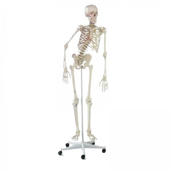 """Esqueleto humano """"PETER"""" – Mod3015"""