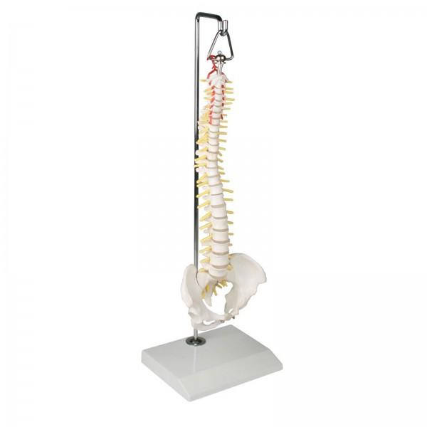Miniatura de coluna vertebral flexível – Mod. 4002