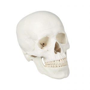 Modelo de um crânio humano adulto que pode ser desmontado em 3 partes, ou seja, base craniana, abóbada craniana e mandíbula. Todos os detalhes anatómicos estão fielmente reproduzidos. Os dentes correspondem a uma dentição normal, bem como os espaços interdentais.