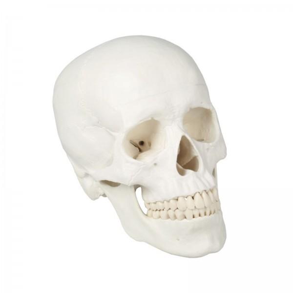 Crânio adulto branco de 3 partes – Mod4500