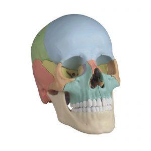 Crânio adulto colorido de 22 partes - Mod4708 Modelo de um crânio humano adulto que pode ser desmontado em 22 ossos individuais. As suturas, representadas de um modo ligeiramente sofisticado, dispõem de conexões estáveis e discretas para montar os ossos individuais. Os 22 ossos estão representados em 9 cores diferentes e didáticas para que os ossos individuais sejam fáceis de distinguir. Cada par de ossos tem a mesma cor.