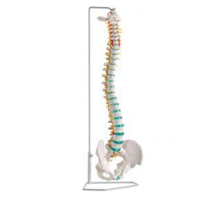 Coluna vertebral inteiramente flexível de tamanho real com occipital, vértebras cervicais, torácicas e lombares, sacro, cóccix e pélvis completa.  O modelo contém também representações das artérias vertebrais, ramificações da espinal medula e um prolapso do disco intervertebral L3 - L4.