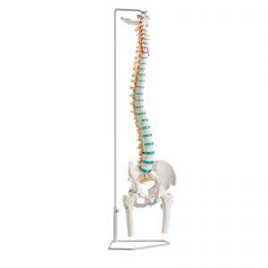 Coluna vertebral inteiramente flexível de tamanho real com occipital, vértebras cervicais, torácicas e lombares, sacro, cóccix e pélvis completa e cabeças do fémur amovíveis.  O modelo contém também representações das artérias vertebrais, ramificações da espinal medula e um prolapso do disco intervertebral L3 - L4.