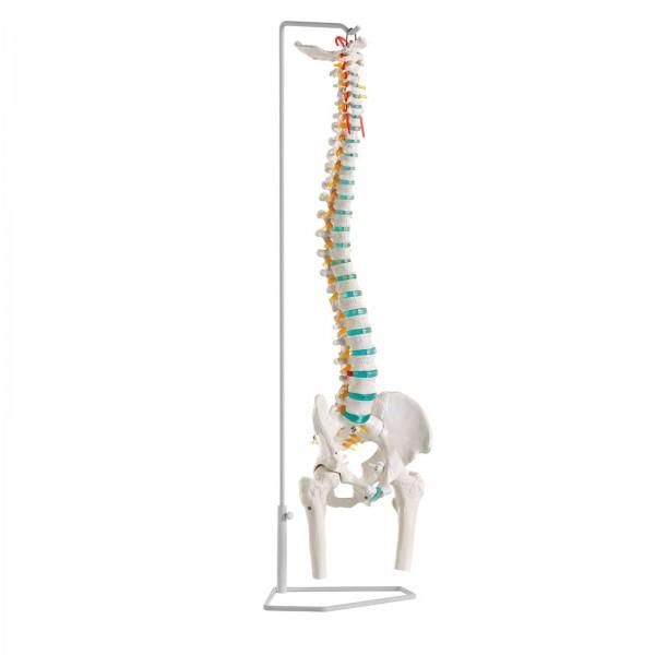 Coluna vertebral flexível com cabeças de fémur amovíveis – Mod. A251