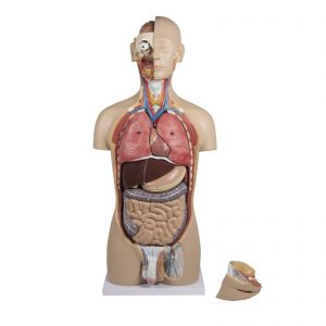 Um torso com traseira aberta, composto por 27 peças que fornecem os mais importantes órgãos e estruturas anatómicas do corpo humano. A cabeça é seccionada de forma a expor o crânio, cérebro, boca e a região da garganta, bem como o olho. Além disso, o pescoço é dissecado para expor a laringe, tiróide e vasos cervicais. O tórax e abdómen são completamente abertos; todos os órgãos internos podem ser removidos e são parcialmente desmontáveis. Sistemas Urogenital feminino e masculino. A parte de trás aberta expõe as camadas musculares e a coluna vertebral, os nervos da coluna vertebral, bem como uma vértebra removível com espinal medula.