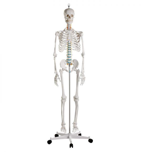 Modelo Anatómico Oscar