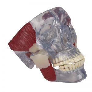 crânio ATM articulação tempromandibular modelo anatómico